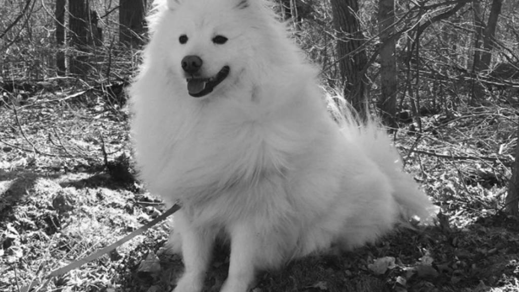 American Eskimo Dogs 12