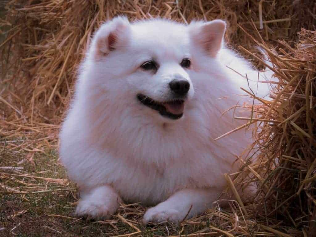 American Eskimo Dogs 2