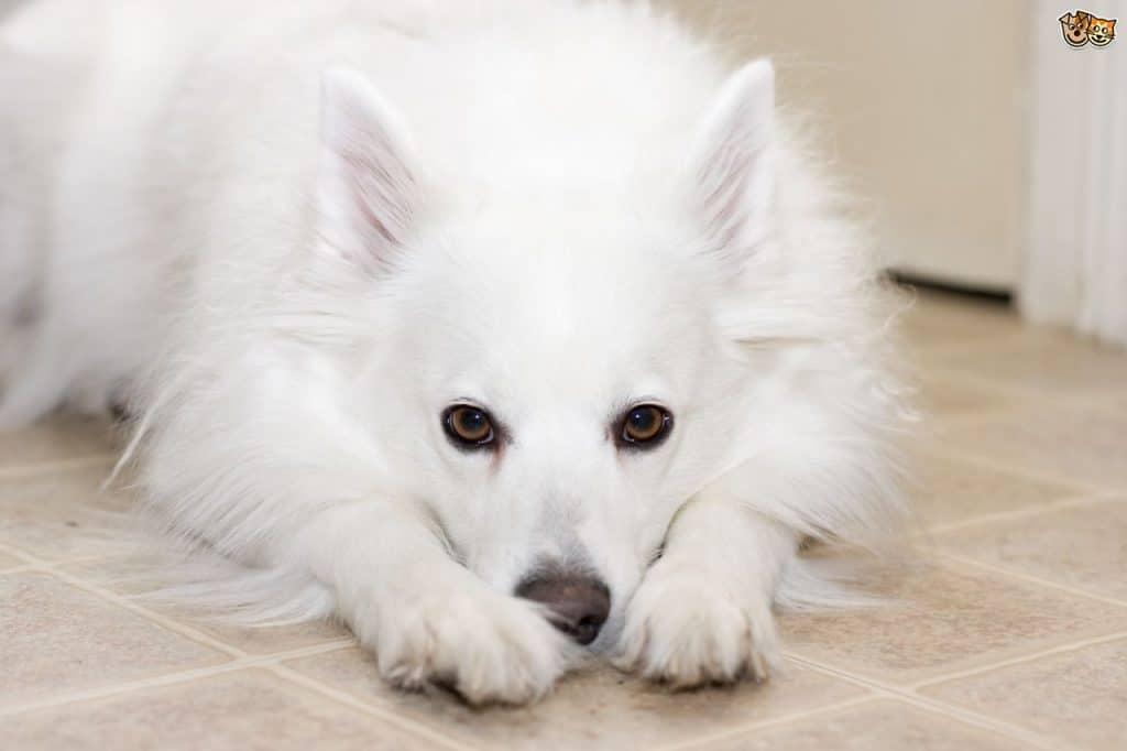 American Eskimo Dogs 3
