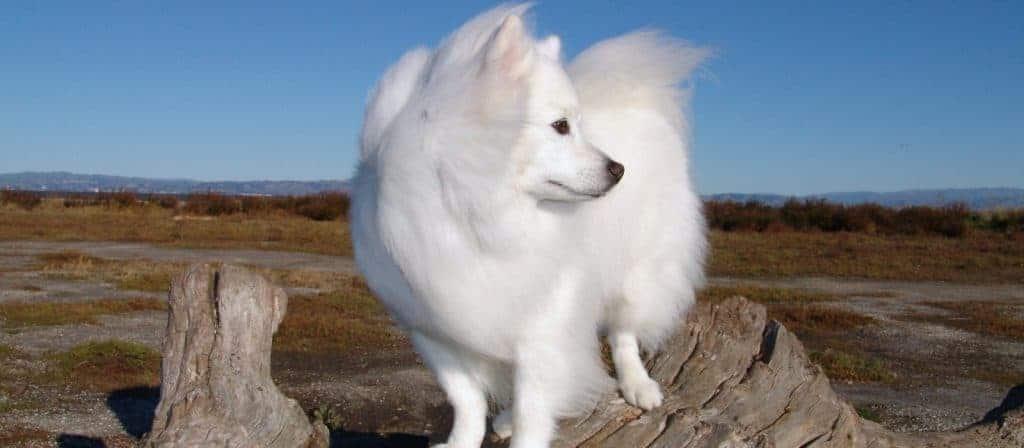 American Eskimo Dogs 4