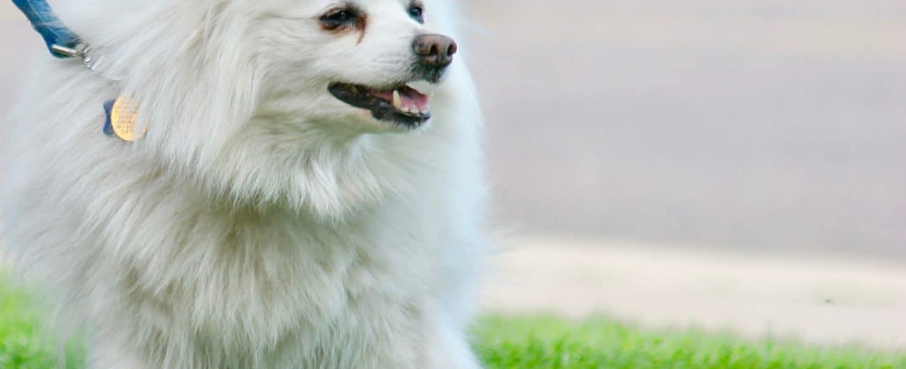 American Eskimo Dog 7