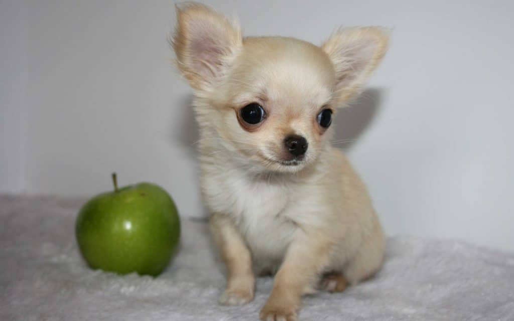 Give your dog an apple