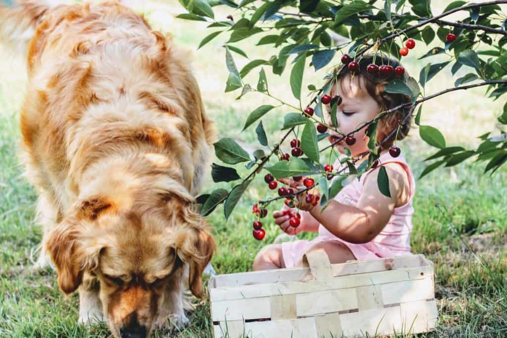 Cherries FOr Dogs