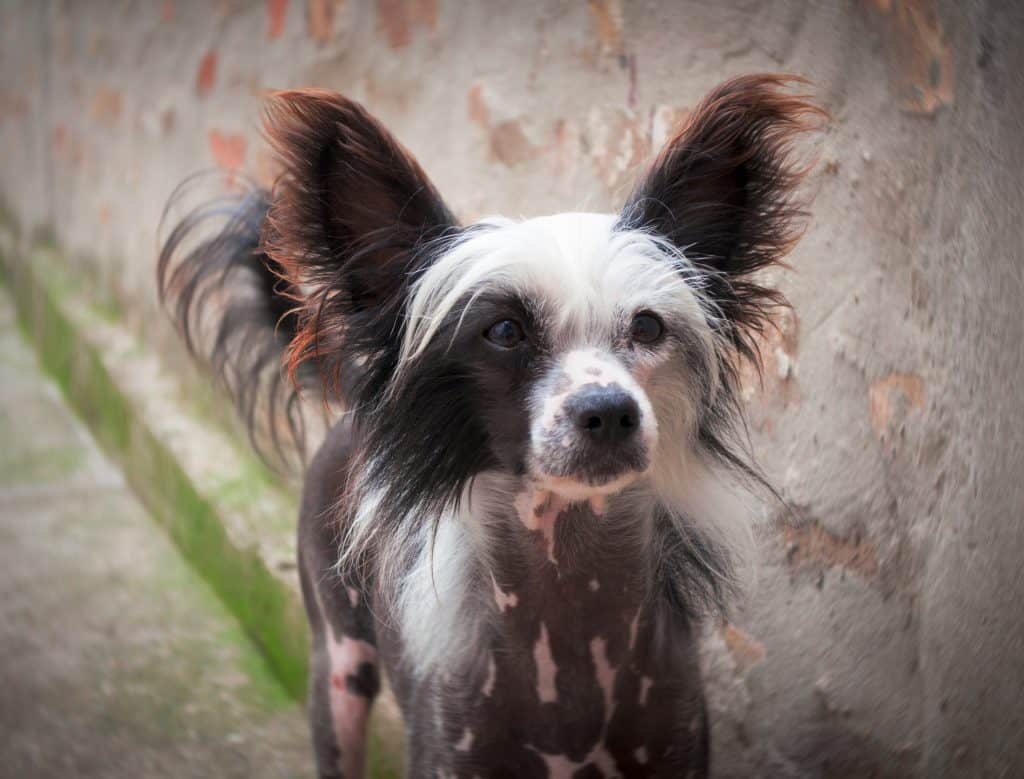 Chinese crested dogs 1