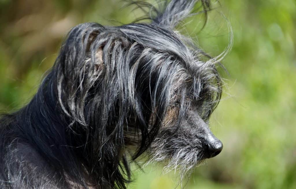 Chinese crested dogs 11