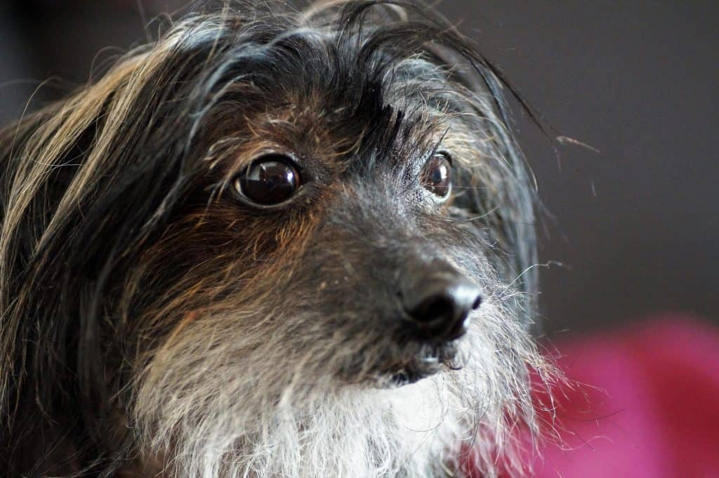 Chinese crested dogs 12