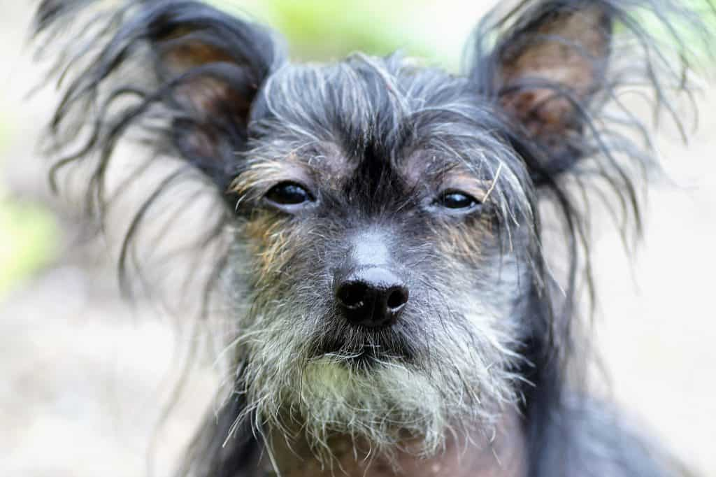 Chinese crested dogs 14