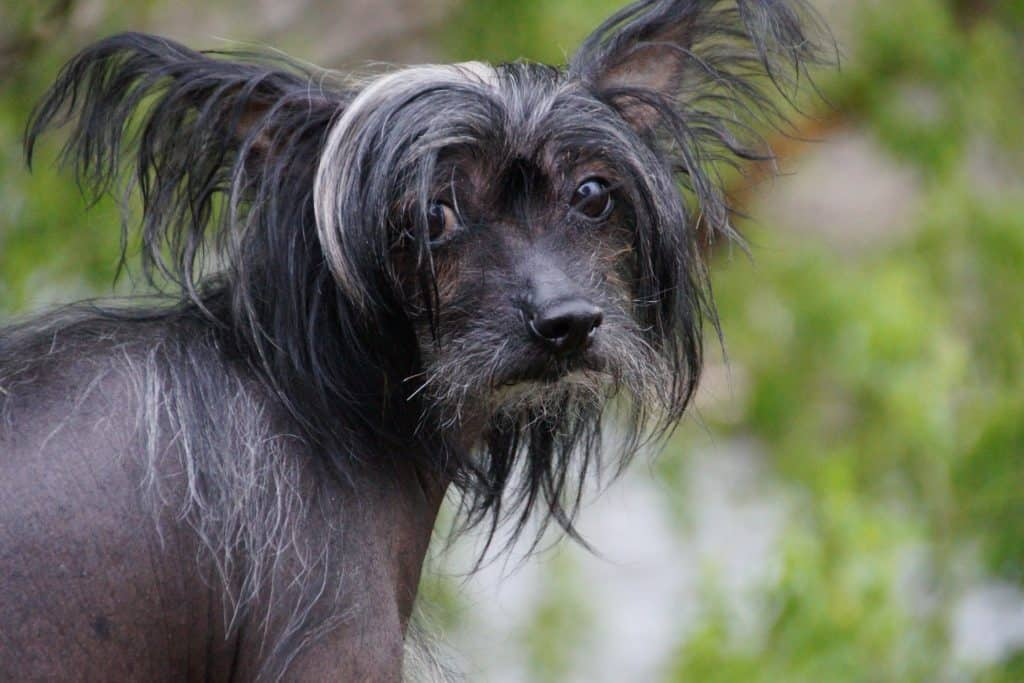 Chinese crested dogs 2