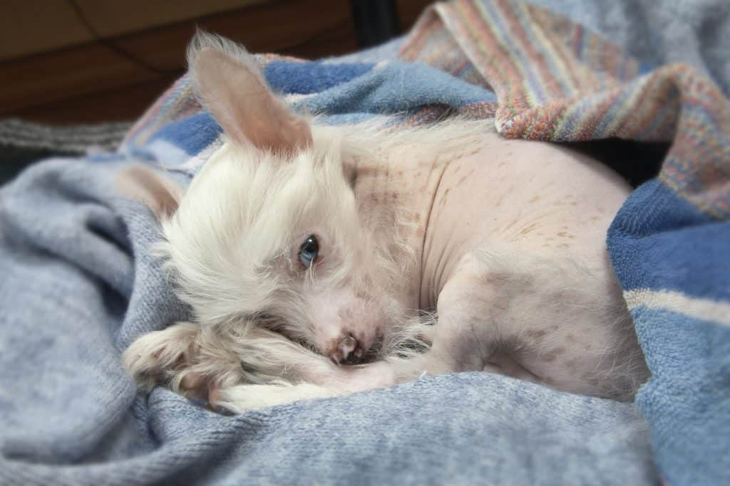 Chinese crested dogs 3
