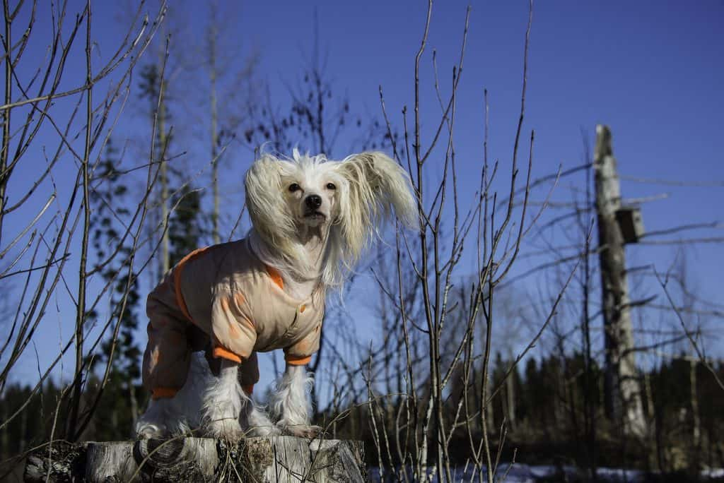 Chinese crested dogs 5