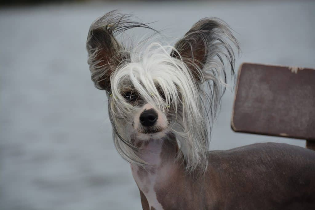 Chinese crested dogs 7