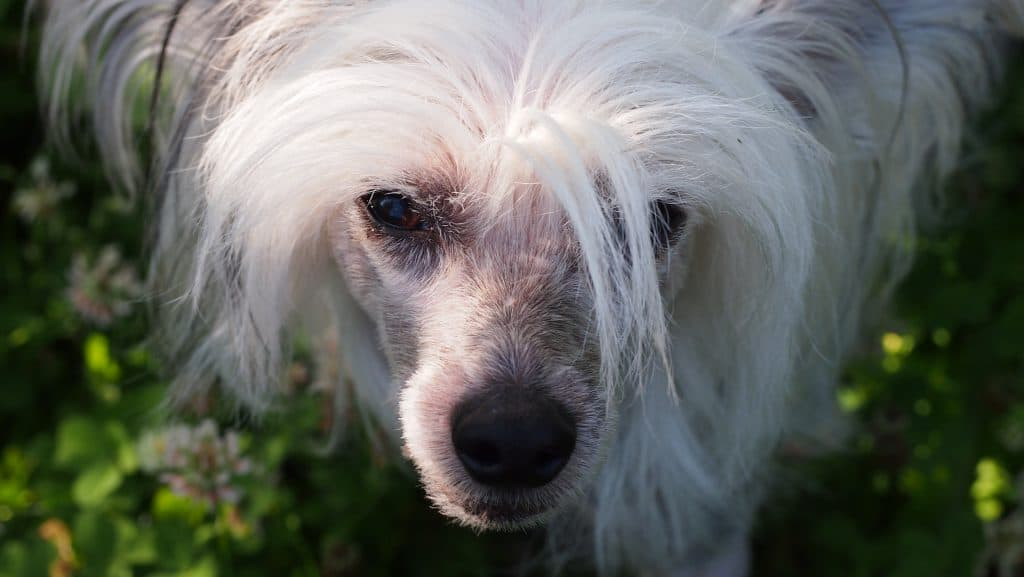 Chinese crested dogs 8