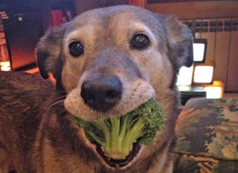 Dog Eat Broccoli
