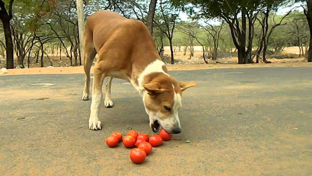 Dog Eat Tomatoes 22
