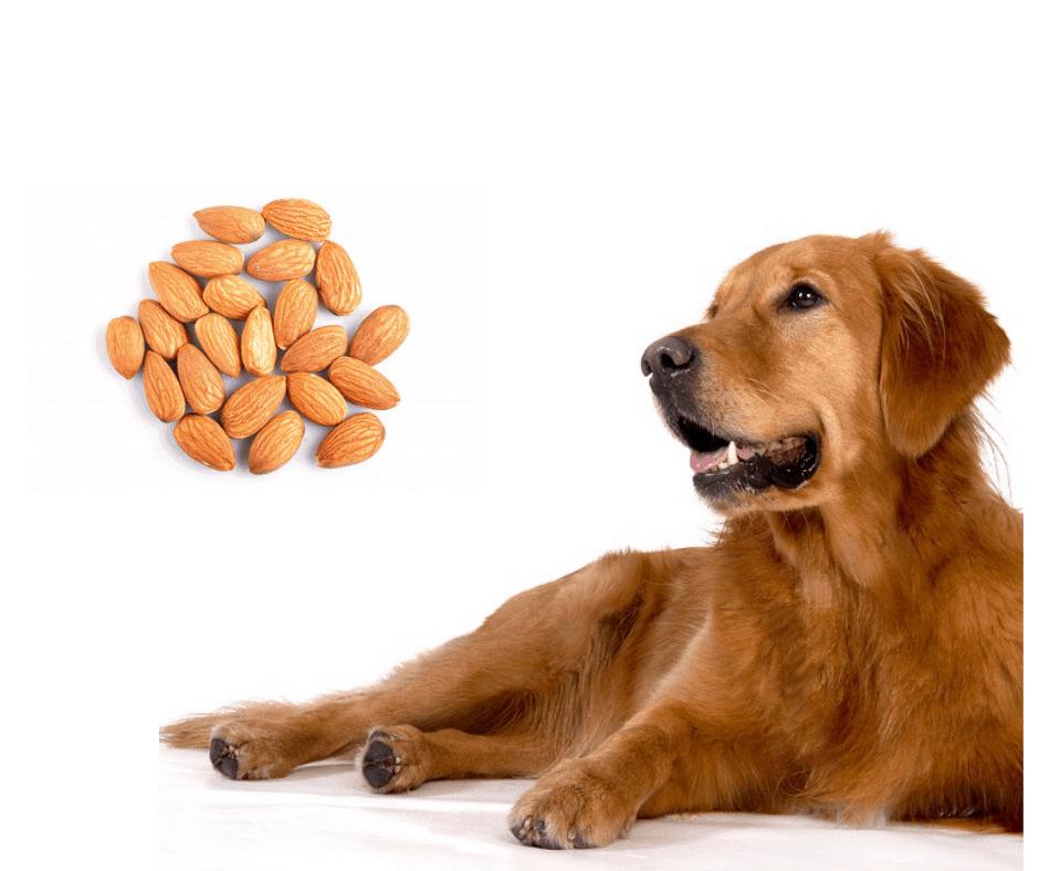 Dog eat almonds