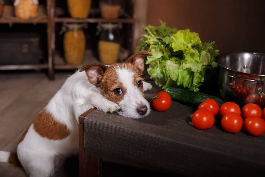 Dogs Tomatoes Allergy