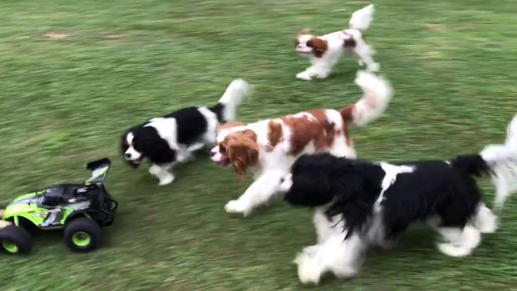 Dogs chasing small car