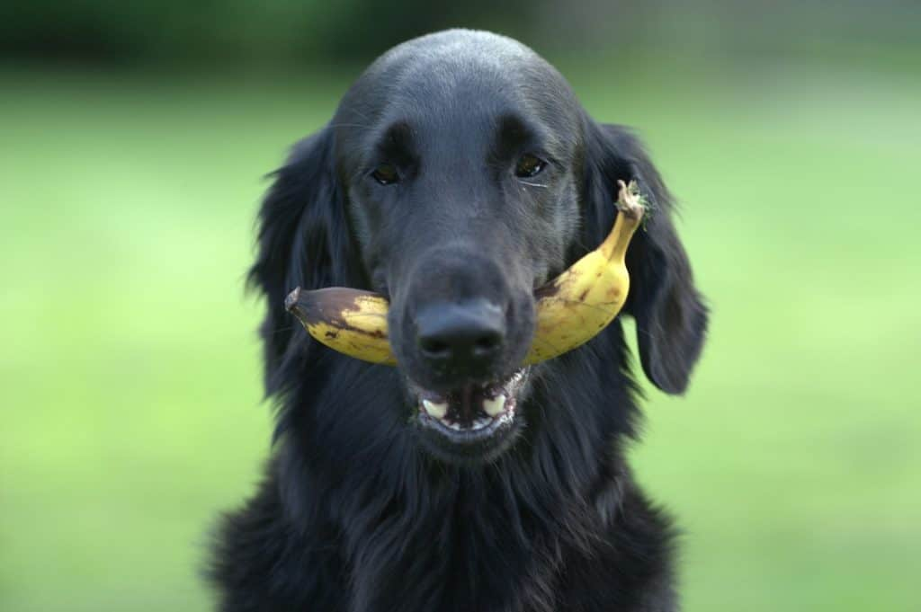 Dogs eat bananas