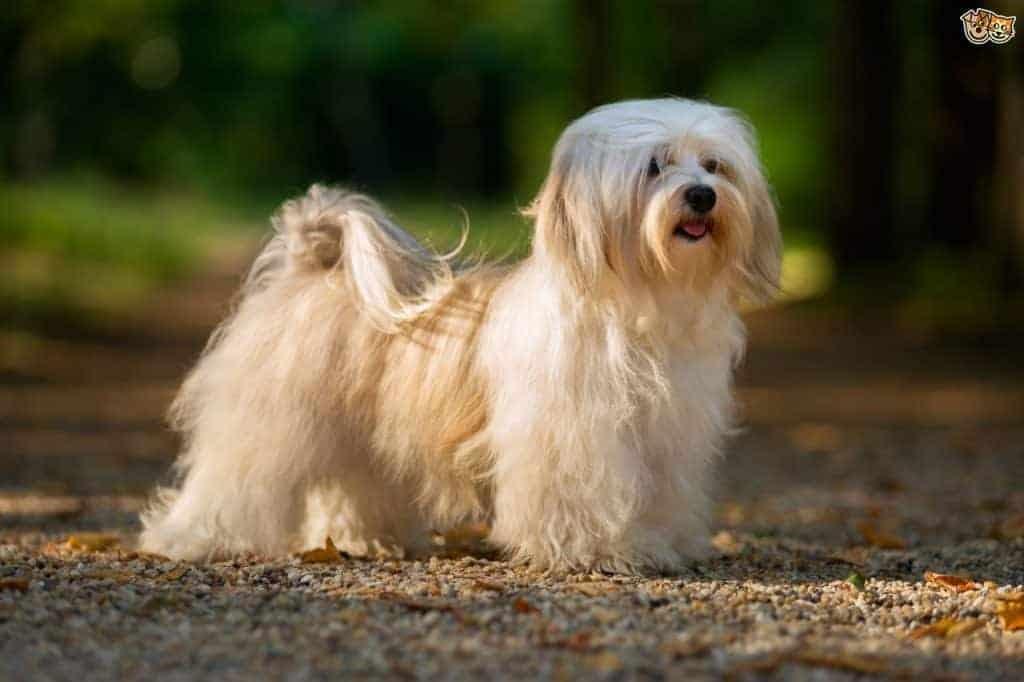 Havanese Dogs 1