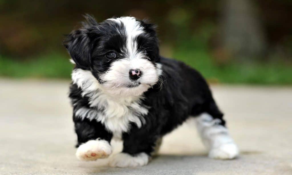 Havanese Dogs 10