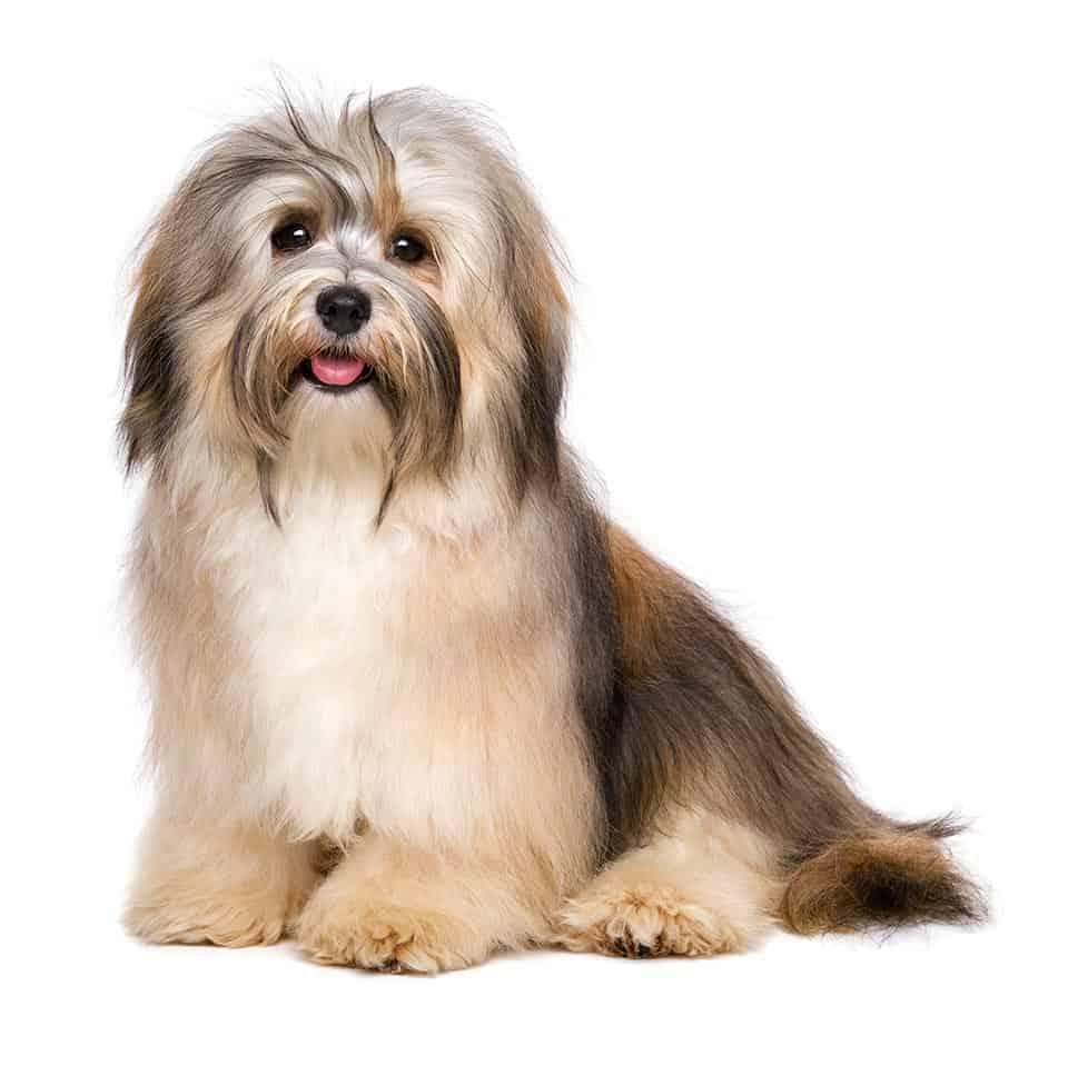 Havanese Dogs 12