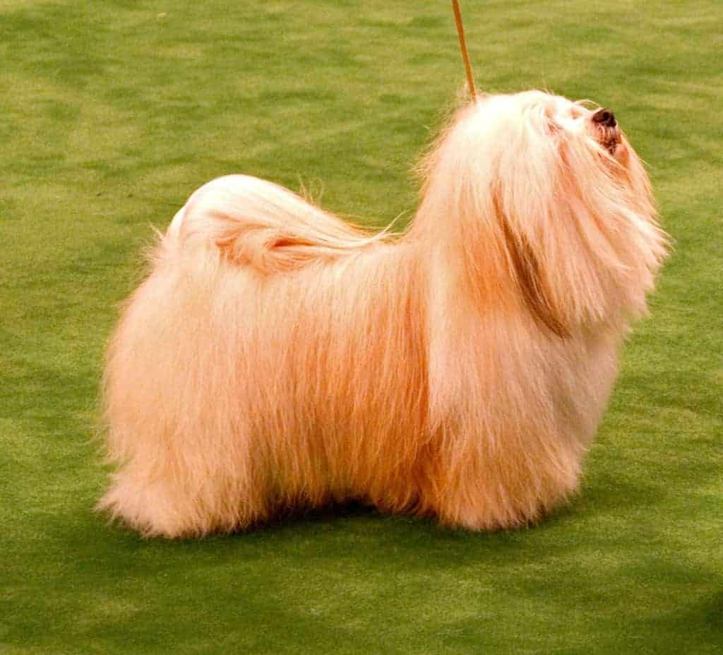 Havanese Dogs 2