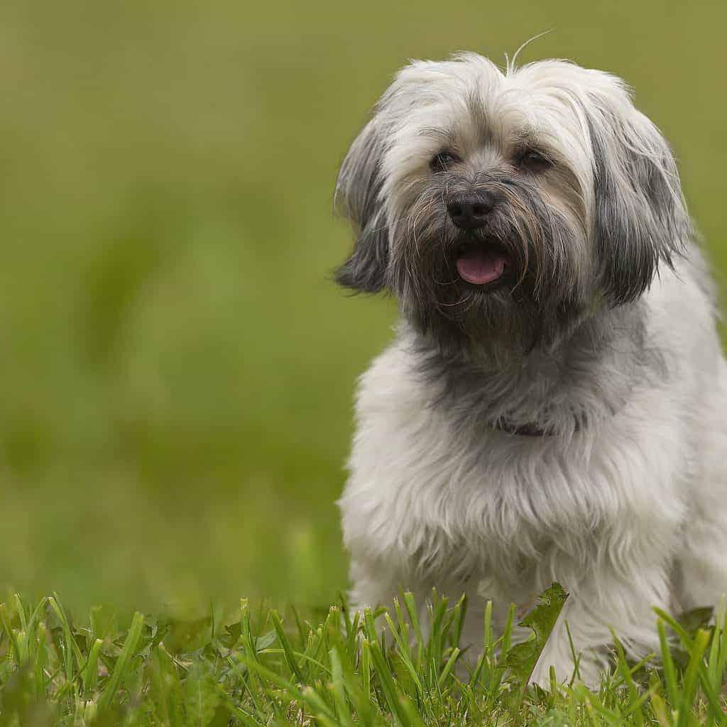 Havanese Dogs 3