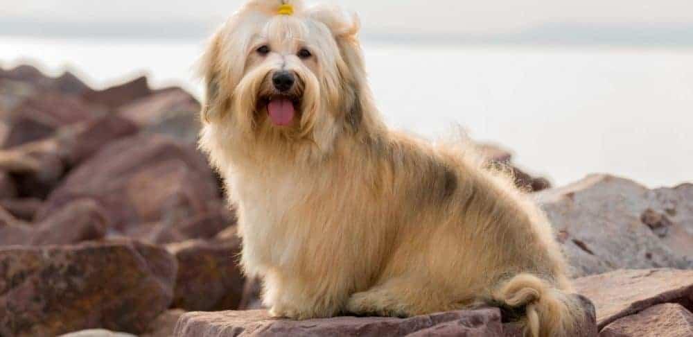 Havanese Dogs 4