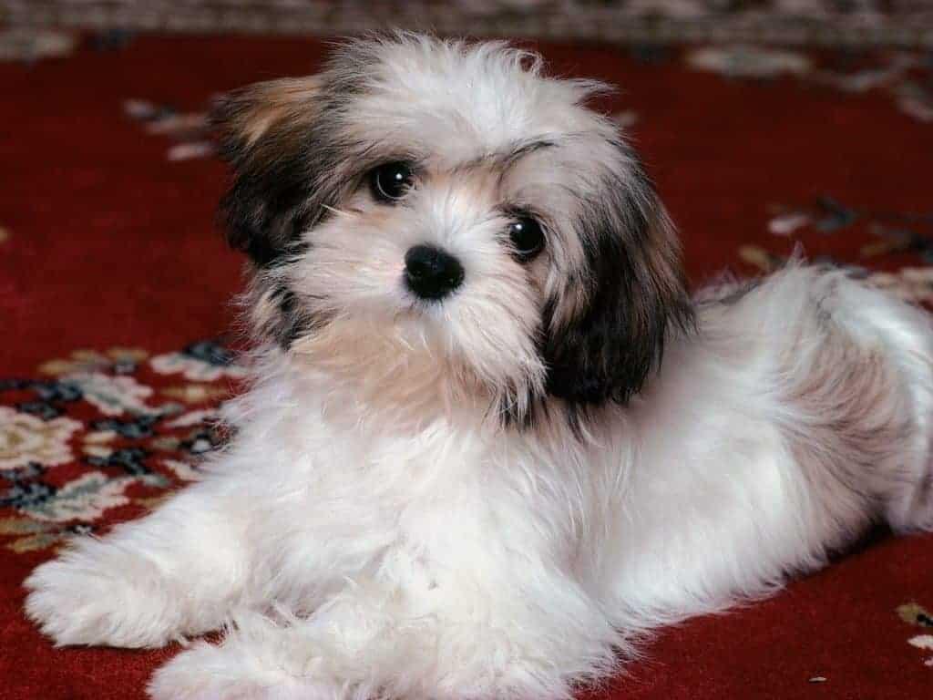 Havanese Dogs 9