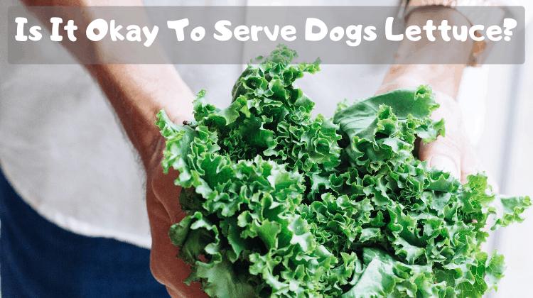 Is It Okay To Serve Dogs Lettuce_