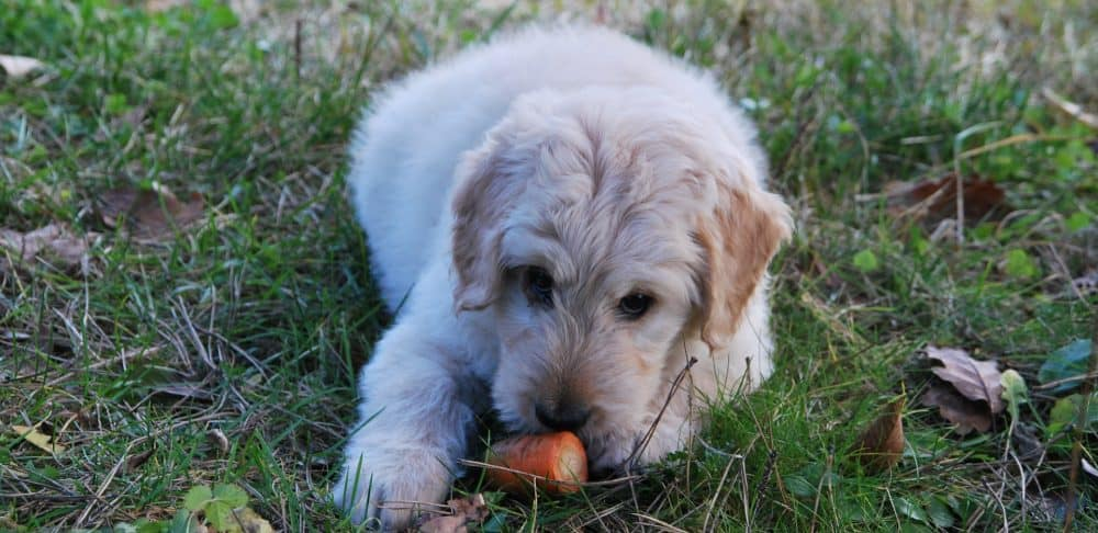 Serve Carrot to your Dog