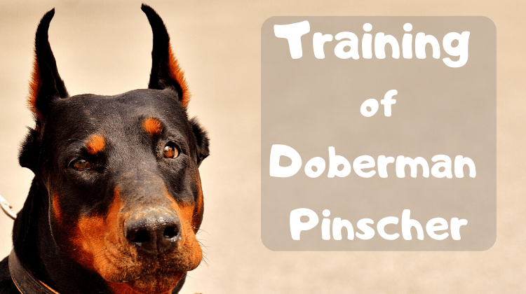 Training of Doberman Pinscher