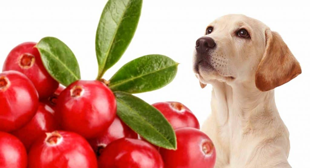 Dog Eats Cranberries