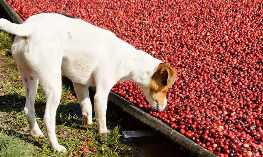 Dogs And Cranberries
