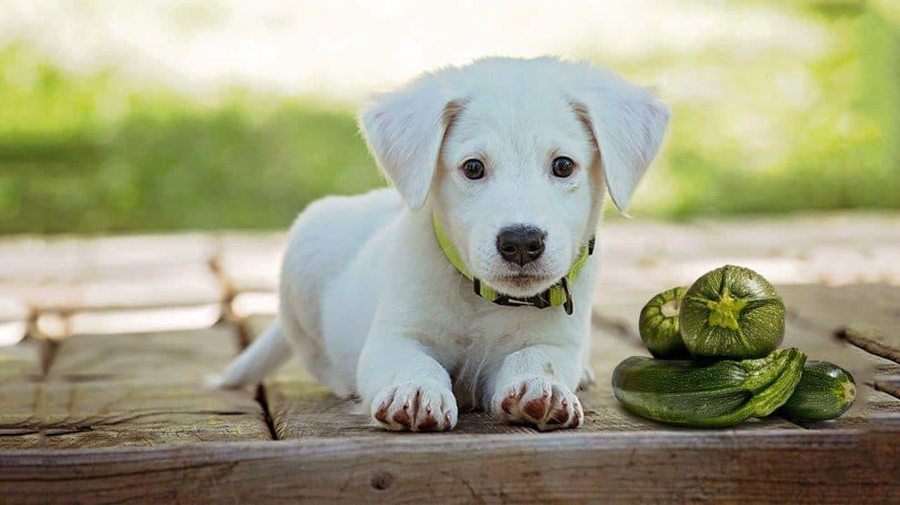 Zucchini to dogs