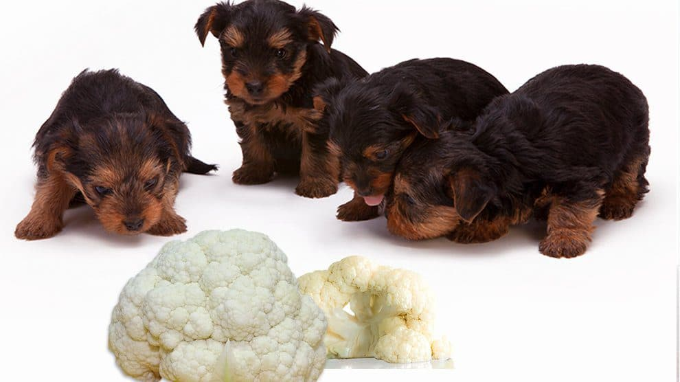 dog eat cauliflower