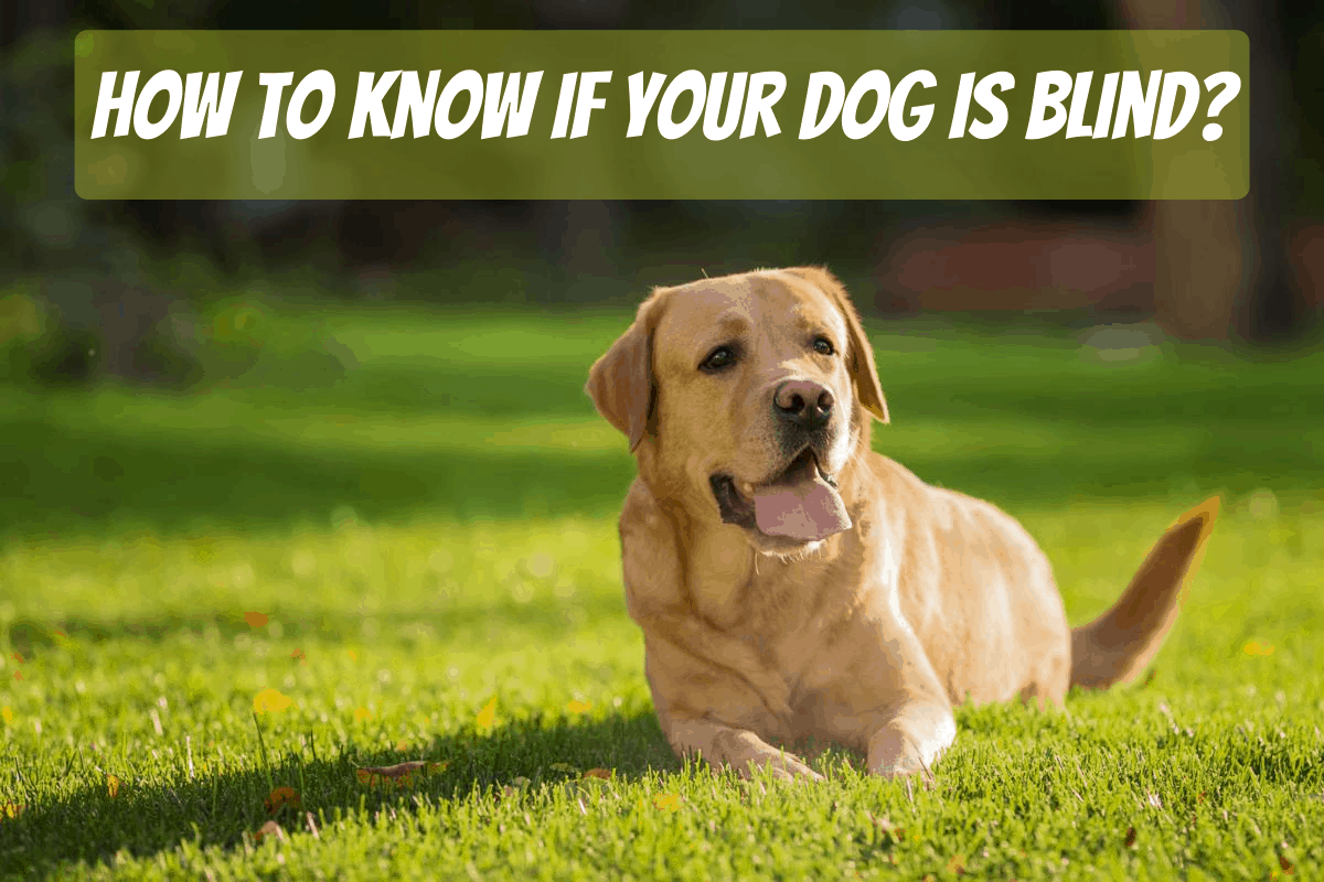 How To Know If Your Dog Is Blind